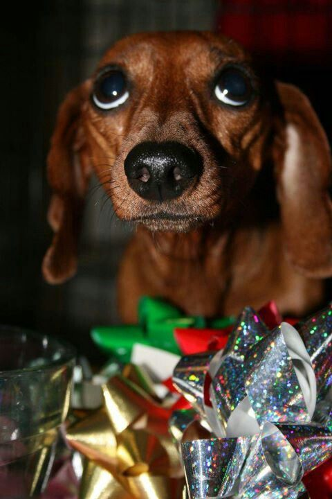if i gives you puppy dog eyes, you gives me more presents?  #cute #doxie #dachshund