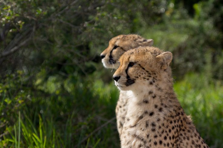 Cheetah 2 by Charissa Lotter (de Scande) on 500px