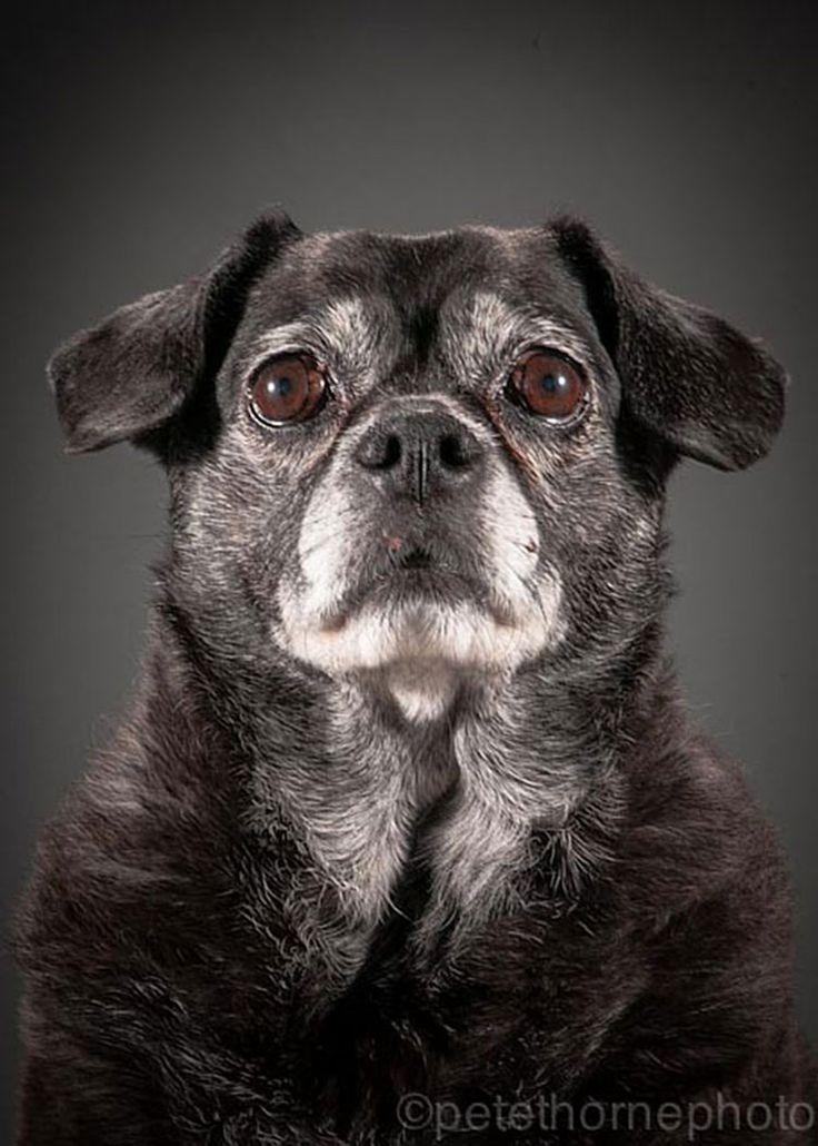 Weezee, 10 años  Old Faithful: Conmovedora Serie de Retratos de Perros en Avanzada Edad | FuriaMag | Arts Magazine
