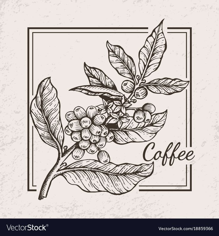 Coffee berries twig icon drawn in black and white surrounded by square frame. Vector illustration with tiny berries between wide leaves. Download a Free Preview or High Quality Adobe Illustrator Ai, EPS, PDF and High Resolution JPEG versions.
