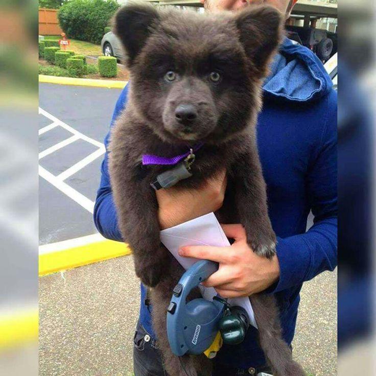 A German Shepherd-Akita-Corgi mix. He looks like a fluffy bear cub.....want one!