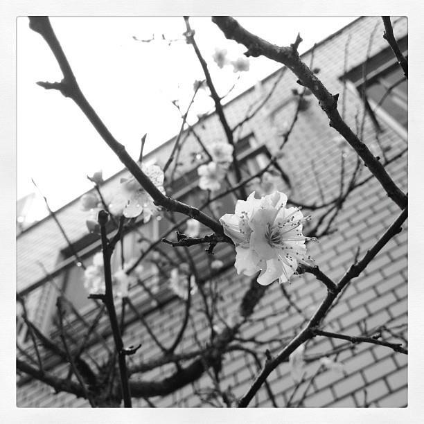狂い咲き。