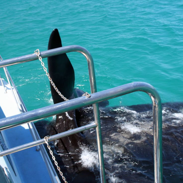 October and November are the best months of the year to have this amazing opportunity to view the magnificent Southern Right Whales along our Cape coastline.  One of the best places to do so is in Gansbaai. Stay in Gordon's Bay with Gordon's beach accommodation, beachfront accommodation and save big on accommodation in Gordon's Bay and on the Whale tour! Contact Details Phone021 856 3519 Emailinfo@gordonsbeachlodge.co.za