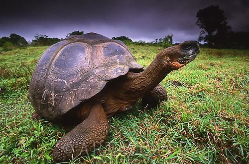 Galapagos Giant Tortoise, Ecuador (Vulnerable)