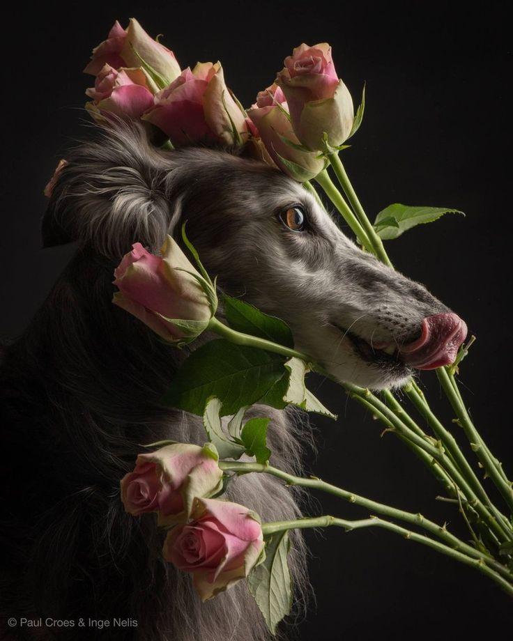 00227 Silken Windhound 06/2016 Belgium