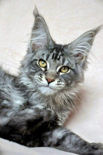 1000+ images about Maine Coon Cats on Pinterest | Cat of ...