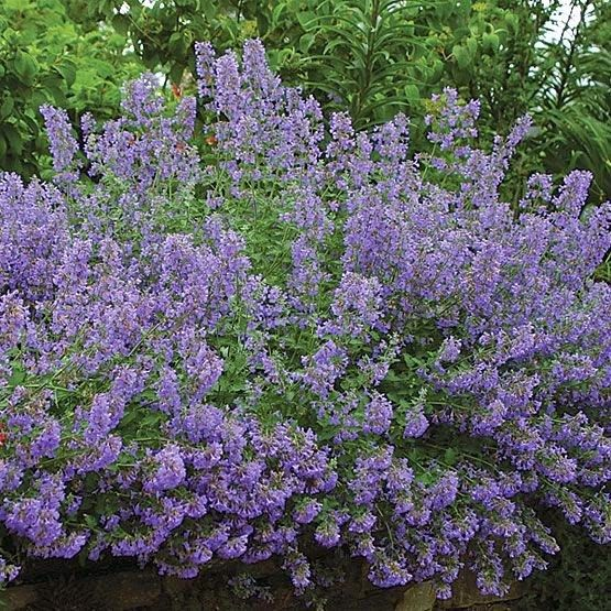 Catmint as a filler plant. It makes for a wonderful filler