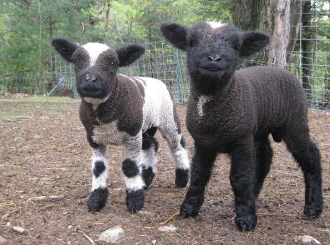 Mike & Ike!  Babydoll Southdown-cross lambs @romneyridgefarm  #sheep,#lambs#,Romney Ridge Farm