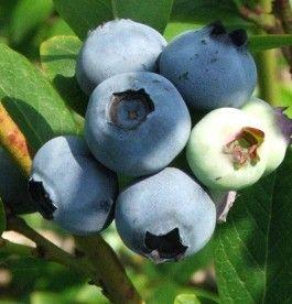 Vaccinium corymbosum 'Blue Jay' - Kékáfonya