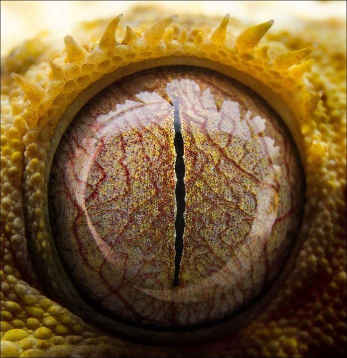 Macro do olho de uma lagartixa de crista (Rhacodactylus ciliatus).