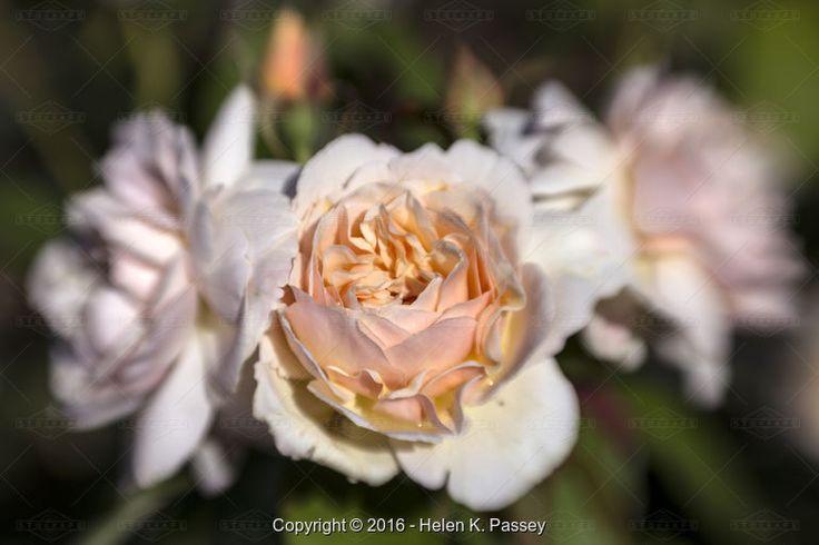 Peach-Pink English Rose - Stock Photos & Images | Stockafe.com
