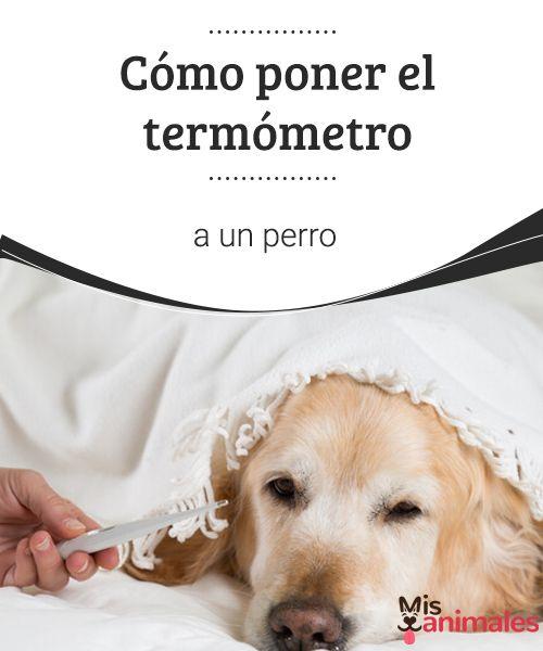 Cómo poner el termómetro a un perro   Tomarle la temperatura rectal a un can no es tarea sencilla. Te contamos cómo ponerle el termómetro a un perro de la manera menos traumática posible. #perro #consejos #termómetro #temperatura