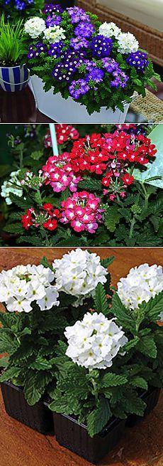 Вербена - комнатное растение /описание, полезные свойства/