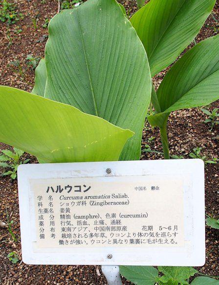 Curcuma aromatica Salisb – University of Kumamoto, Medicinal Herb Garden - http://kampo.ca/herbs-formulas/herbs/ukon/