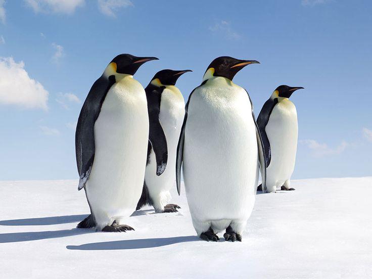 Emperor penguins in Antarctica.
