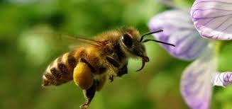Znalezione obrazy dla zapytania gatunki pszczoły miodnej w polsce