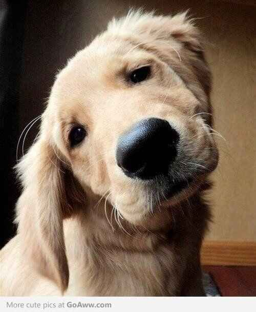 No, I have no clue where the treats disappeared to. | 60 Times Golden Retrievers Were So Adorable You Wanted To Cry