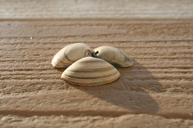 sea shells - DrNyx