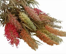 grevillea - these would be laden with honey - amazing sweet grevilleas for the birds and the bees!