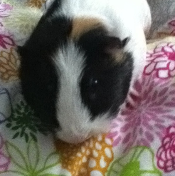 Eleanor the cute and cuddly guineapig.
