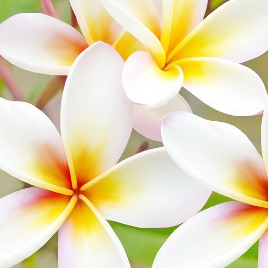 Frangipani - reminds me of Hawaii :)