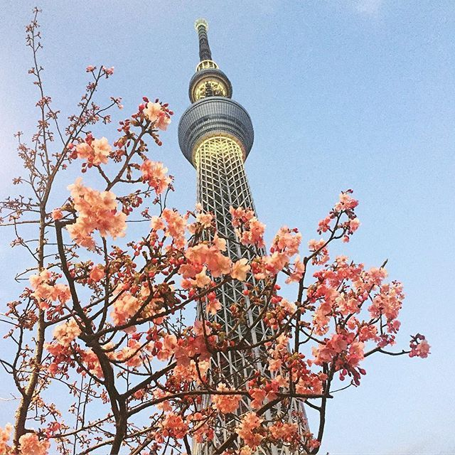 【shinokuman】さんのInstagramをピンしています。 《Kawazu cherry tree&skyskytree🌸 at last spring has come to japan🌱  #skytree#tree#tower#cherrytree#beautiful#sky#flowers#pink#good#nice#beer#happy#life#awesome#like4like#spring#japan#surfinggirl#pretty#cherryblossom#美味しい#焼き鳥屋#行って来た#楽しかった#スカイツリー#河津桜#桜#🌸》