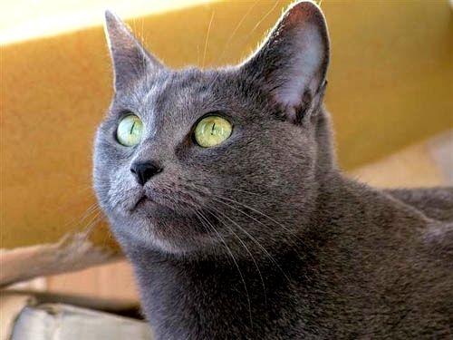 Resultado de imagem para Gato Azul Russo