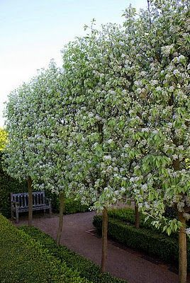 Snow Pears at Brabourne Farm