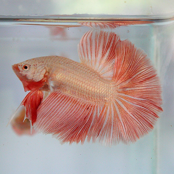 17 best images about bettas pink on pinterest pink for Best betta fish