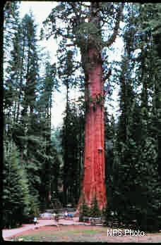 General Sherman Tree at the north end of Giant Forest in Sequoia National Park is the largest tree in the world.