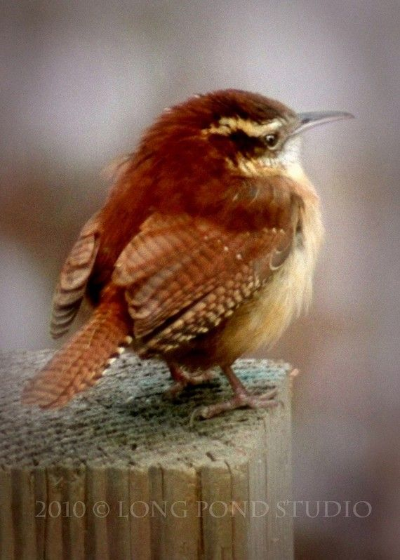 A sweet little wren, this image has the beautiful quality of a watercolor painting. See more of my images at:
