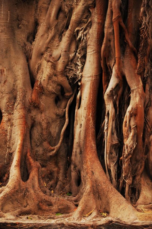 Old Tree old, tree, alicante, arbre, vieux