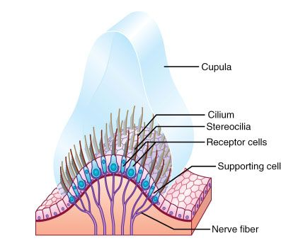 Crista Ampullaris (start of semicircular canals) detect angular acceleration. At each ampullae there is hair cells with cilium and stereocilim, sticking up in the cupula (round circle filled with fluid). Each semicircle canal resides in frontal, horizontal, and saggital plane to detect all direction of rotations. As head turns, endolymph (fluid) lags behind, pushes capula, and stimulate the hair cells.