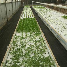 Our new aquaponics system is starting to fill in!  hydrolettuce #highoutput #growfood #t5 #mustardgreens #veg #sunsystem #americanmade #hydro #timun #kyuri #pku #pekanbaru #infopku #inforiau #gardening #petanikota  #kemangi #alwaysgreen #tamansarihidroponik #hydrofarm #organic #love by dreamfield_aquaponics_farm