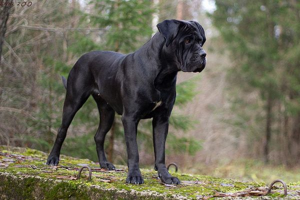 The Cane Corso is an Italian breed of dog, for years valued highly in Italy as a companion, guardian and hunter. The Cane Corso is a large Italian Molosser, which is closely related to the Neapolitan Mastiff.  The Cani Corso appear in two basic coat colors. The head is arguably its most important feature. Traditionally the ears are cropped in equilateral triangles that stand erect. The Cane Corso is a descendant of the canis pugnax, dogs used by the Romans in warfare.