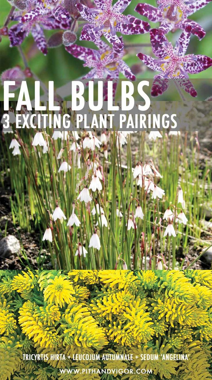 fall bulbs - 3 beautiful plant pairings - Tricyrtis hirta + Leucojum autumnale + Sedum 'Angelina'
