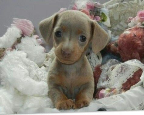 Cute blue mini dashund I want one