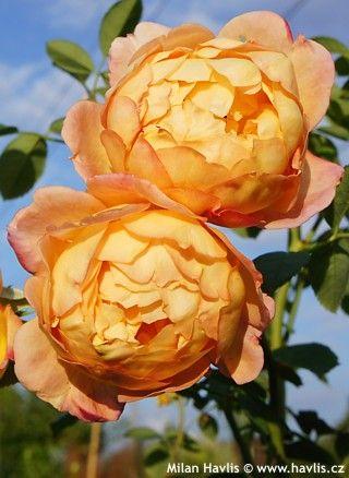 """Rosa """"LADY OF SHALOTT""""růže keřová Davida Austina"""