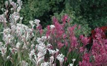 Mt Penang Gardens - pink and white kangaroo paw flowers