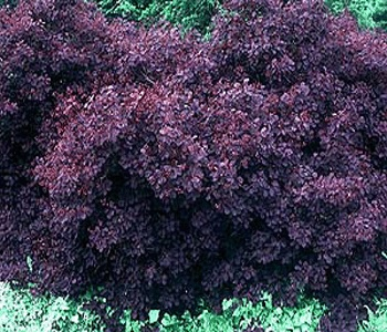 Royal Purple Smokebush Gardening Black Garden Shrubs