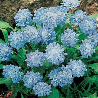 "Butterfly Blue Scabiosa (Scabiosa columbaria 'Butterfly Blue') - Dwarf plant with a neat growth habit, trouble-free, ideal for edging. Attracts butterflies and this heavy bloomer is excellent as cut flowers. Blooms continuously from spring to fall with heaviest blooming in the spring. Intense lavender blue flowers. Voted Perennial Plant of the year 2000 by the Perennial Plant Association. Light: Full sun to partial shade. Height: 12-15"". Deer Resistant. Bloom Time: Summer.  Zones: 3 to 9."