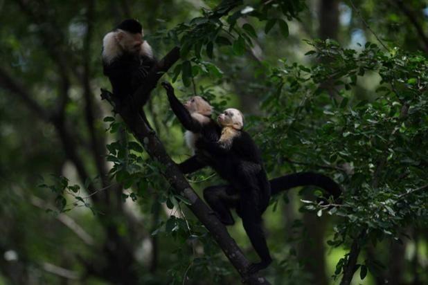 Una familia de monos capuchinos en el zoo de El Salvador, en San Salvador (Marvin Recinos, 2016)