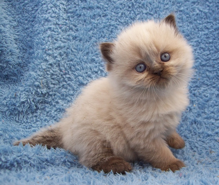 White Baby Kittens With Blue Eyes 33 best images about M...