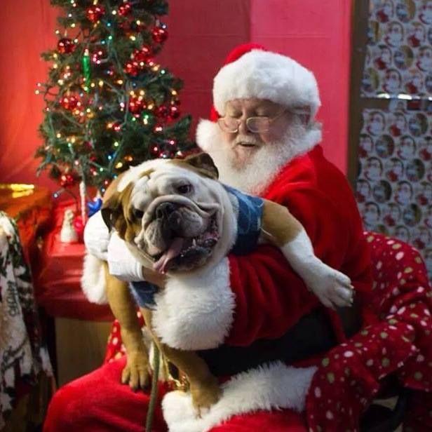 funny christmas bulldog - photo #14