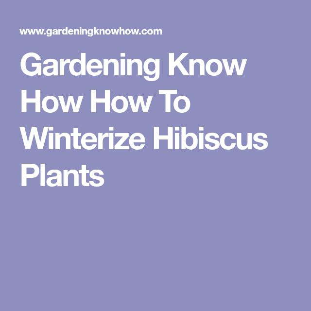 Gardening Know How How To Winterize Hibiscus Plants