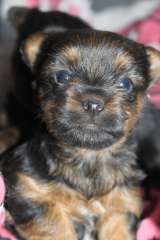 Male Pup Ready for Christmas | puppies for sale Koondrook Victoria | Australian Silky Terrier dogs for sale in Australia | Australian Silky Terrier puppies for sale @ #pups4sale here: http://www.pups4sale.com.au/dog-breed/391/Australian-Silky-Terrier.html