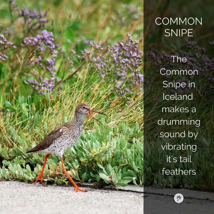 Check out this #CommonSnipe! #Birds of #Iceland! Explore #Icelandic #Wildlife with www.tour.is! #TourIS #IcelandTours #TravelIceland
