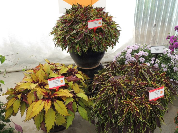 NEW! Flame Thrower Coleus series | All Things Ball