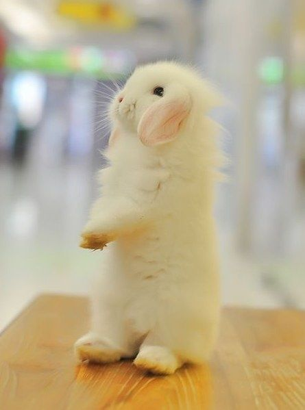 98 best Floppy Eared Bunnies images on Pinterest   445 x 599 jpeg 37kB