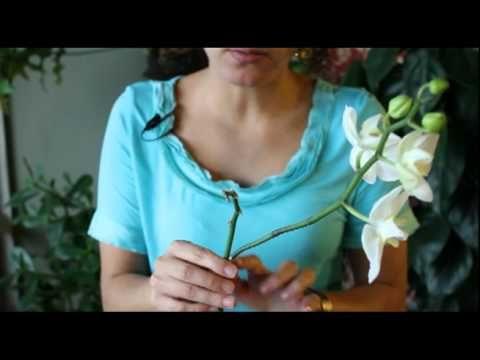 Quando cortar caule da orquídea.                              …